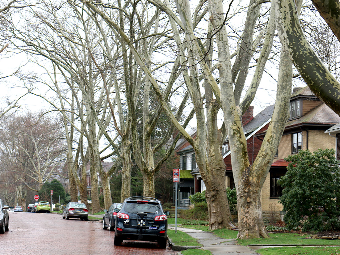 Row of large trees by road Pittsburgh PA