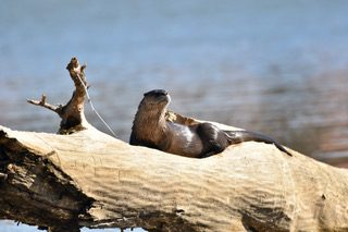 River otter on a piece of driftwood at Duck Hollow